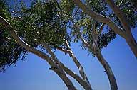 A picture of Ghost Gums; Along the Stuart Highway; Northern Territory, Australia