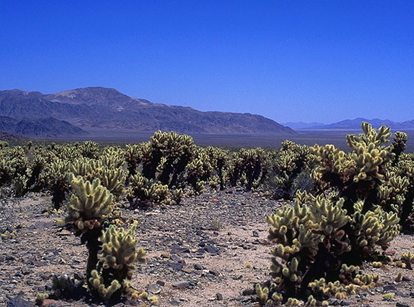 Cholla Cactus<br>Joshua Tree National Monument<br>California, USA: Joshua Tree National Monument, California, United States of America : The Natural Order; Landscapes.