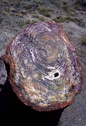 Crosscut Petrified Log<br>Petrified Forest National Park, Arizona: Petrified Forest National Monument, Arizona, United States of America : Geological Formations.