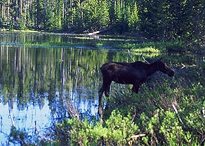 One of the Locals<br>Grand Teton National Park<br>Wyoming, USA: Grand Tetons National Park, Wyoming, United States of America : The Natural Order.