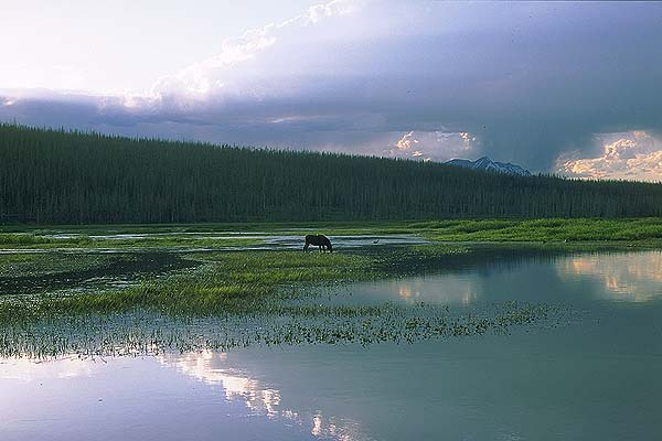 Grazing Moose<br>Yellowstone National Park<br>Wyoming, USA: Yellowstone National Park, Wyoming, United States of America : The Natural Order.